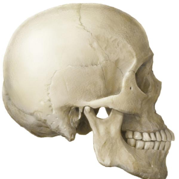 骨格のイラストレーション