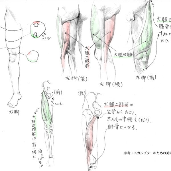 大腿部の解剖