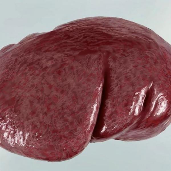 脾臓のphoto real study